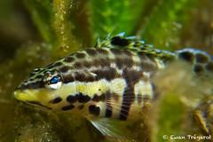 Serranus_tigrinus (Ewan Trégarot) Tags: g7x photo underwater serranus tigrinus seagrass macro nature martinique caraïbes