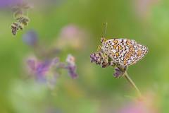 In the magic field (Raffaella Coreggioli ( fioregiallo)) Tags: natura nikon macro fioregiallo2009 fotografia farfalle fiori foglie fioregiallophoto insetti campo