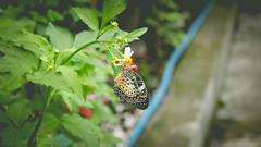 Litte cutie <3 (lin.chinhu) Tags: butterfly insect plant flower animal animalplanet thezoo zoo saigon vietnam cool catchthemomet canon canon60d photography