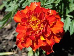 Marigold (Robbie1) Tags: connaught flower macro marigold orange