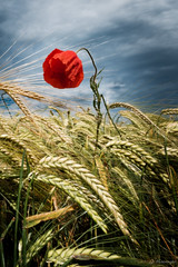 So beautiful and so sad (jo.haeringer) Tags: poppy nature flower barley cereals field red fuji xt2 sadness lonely sad clouds