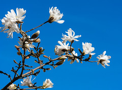 In Bloom (Derwisz) Tags: inbloom blossom flower flowers tree magnolia spring plants plant branches white blue canon eos40d canoneos40d dslr flora