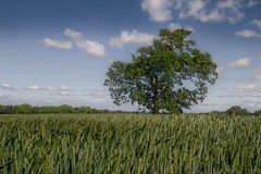 One tree (jillyspoon) Tags: onetree crop field niddgorge branches summer harrogate bilton northyorkshire canon yorkshire bluesky sky clouds horizon grow agriculture canon70d canoneos canon1755mm