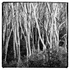 Lake Mountain 04 (Peter.Bartlett) Tags: lunaphoto noiretblanc landscape monochrome m43 australia victoria bw olympuspenf peterbartlett blackandwhite microfourthirds niksilverefex rubicon au