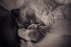 Izzy (@Merssan) Tags: cat mylove izzy sleeping sleepyhead ragdoll