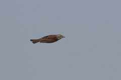 dick-m-easterncimarronco-6-10-17-tl-01-cropscreen (pomarinejaeger) Tags: keyes oklahoma unitedstates bird dickcissel spizaamericana
