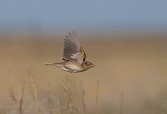 grsp-easterncimarronco-5-26-17-tl-06-cropscreen (pomarinejaeger) Tags: keyes oklahoma unitedstates bird grasshoppersparrow ammodramussavannarum
