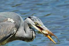 Grey Heron caught a bigger fish (Bogger3.) Tags: greyheron venuspool canon600d tamron150x600lens coth coth5 sunrays5