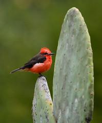 Vermilion Flycatcher ---- Pyrocephalus rubinus (creaturesnapper) Tags: ecuador southamerica puembo birds flycatchers vermilionflycatcher pyrocephalusrubinus
