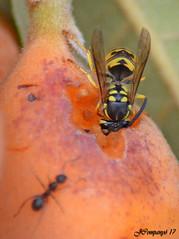 7DSC_0041b (Pep Companyó - Barraló) Tags: avispa común vespula vulgaris vespa insecte animals fauna natura macro josep companyo barralo bergueda