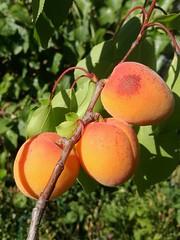Das Gartenjahr (Juli) (NoDurians) Tags: marille aprikose apricot
