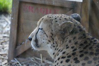 cheetah in front of wooden box