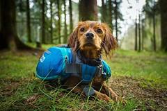 Those puppy eyes when there is no more trail left to hike and it's time to go home! • • • • • #campingwithdogs #hikingwithdogs #dogsonadventures #dogsthathike #adventuredog #thestatelyhound #houndandlife #backcountrypaws #doglove #hikingdogsofinstagram #e (watson_the_adventure_dog) Tags: those puppy eyes when there is no more trail left hike its time go home • campingwithdogs hikingwithdogs dogsonadventures dogsthathike adventuredog thestatelyhound houndandlife backcountrypaws doglove hikingdogsofinstagram excellentdogs adventureswithdogs topdogphoto heelergram hikingdog animaladdicts traildog ireland bestwoof campingcollective visualsgang wanderireland instaireland inspireland irishpassion irelandgram campingculture stayandwander