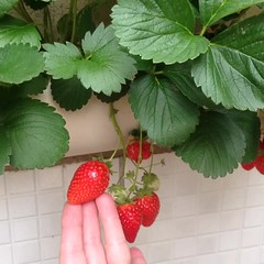 Colheita dos Morangos Orgânicos 🍓 na Horta em Tubos de PVC, ano passado, este Ano esperando novos Frutos. Veja como cultivar    https://youtu.be/Mmp7LCEQlts (adriano270266) Tags: orgânicos gardner garden morangueiros morangos strawberry