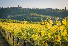 grappoli4 (36 of 1) (sassiitalytours) Tags: wine piemonte castle rodello langhe altalanga vino winetours