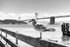 Gull of San Francisco (frank.gronau) Tags: frank gronau sony alpha 7 schwarz weis white black gull möwe vogle bird san francisco bridge brücke