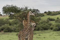 Two-headed giraffe? (tmeallen) Tags: maasaigiraffes giraffacamelopardalistippelskirchi pairofmales competition savanna rainyseason green grasses acaciatrees hill necking neckrubbing grumetigamereserve serengeti tanzania eastafrica travel wild wildlife