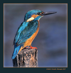 Mascle de blauet 43 (Alcedo atthis) Male Common Kingfisher (El Racó del'Olla, València, l'Horta, Spain) (Rafel Ferrandis) Tags: mascle blauet racóolla hdr eos7dmkii sigma150600contemporary