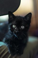 Cat is the new black (la_peppy) Tags: cat animals portrait eyes 50mm nikon d90 pet animal cats black