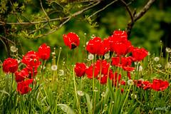 poppies (Maria Foti) Tags: ormea montagna mountain mountains flowers papaveri poppies poppy fiori
