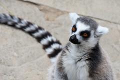 Ring-Tailed Lemur (Bri_J) Tags: tropicalbutterflyhouse northanston sheffield southyorkshire uk yorkshire nikon d7200 ringtailedlemur lemur lemurcatta