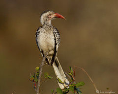 Red-billed Hornbill (leendert3) Tags: redbilledhornbill ngc npc coth5 leonmolenaar krugernationalpark nature wildlife southafrica sunrays5
