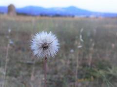 Dandelion Seed (fayhan30) Tags: dandelion seeds flower fujifilm sunny single hillside