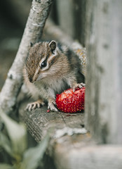 Little chipmunk eating a strawberry top (♥Oxygen♥) Tags: chipmunk cute furry mammal strawberry animal little nature rodent small wildlife eating smallmammal adorable closeup fruit striped wild baby young eat tree stump brown forest fur park stripes fence bark bend eastern grand hair lambton log pinery provincial squirrel striatus tamias trunk united outdoors trail treebranch wildanimal russia siberia wood