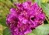 Dew in the Rhody (Mïk) Tags: rhododendron rhodies mikeyworld myneighborhood flowers blooms blossums plants