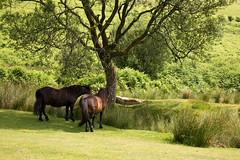 Dartmoor ponies (Keith in Exeter) Tags: dartmoor pony ponies shade tree vitifer birchtor tinmine valley landscape grass rushes bracken outdoor devon