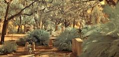 Lush Flora Infrared Color (Neal3K) Tags: bonaventurecemetery savannah georgia graves ghosts garden infraredcolor 590nmfilter spanishmoss cycad liveoaks sagopalm ir infrared kolarivisionmodifiedcamera