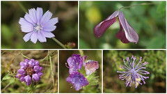 mor/lila/eflatun çiçekler