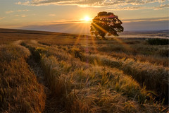 Summer Harvest (littlenorty) Tags: england europe fujixt2 landscape lone nature oxfordshire plants ridgeway sunset trees type unitedkingdom fuji1655 goldenhour goldenlight sunburst