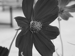 Embrace (laurenrice4) Tags: photography photo photographer picture plants pollen plant black white outside outdoors beginner embrace embracing embraced blur close closeup