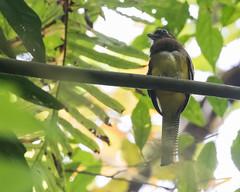 Black-throated Trogon (J.B. Churchill) Tags: btht birds blackthroatedtrogon costarica heredia laselvaotsreserve places taxonomy trogons cr laselva