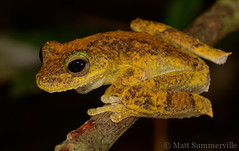 Growling Green-eyed Tree Frog (Litoria eucnemis) (Mattsummerville) Tags: litoriaeucnemis treefrog amphibian ironrange capeyork queensland growlinggreeneyedtreefrog rainforest stream wildlife