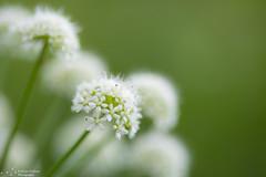 Soft flowers (kaths piccies) Tags: dogwood2017 dogwoodweek21 flowers softfocus soft