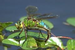 Un bijou d'insecte (chriskatsie) Tags: dragonfly libellule insecte macro couleur anax empereur ponte femelle