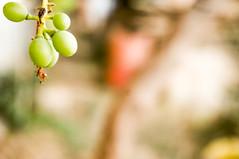Grapes (Abderraouf Cheniki) Tags: sony nex 5t green grape grapes dof background white shine