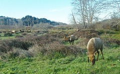 Cervus canadensis roosevelti --  Rooselvelt Elk 0565 (Tangled Bank) Tags: northern california coast us highway hwy 101 roadtrip america american roadside cervus canadensis roosevelti roosevelt elk herd 0563 wild nature natural mammal large
