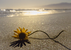 Only memories remain (Hanna Tor) Tags: water ocean sea shore beach shoreline sun sunset sand hannator flower color light gold bokeh
