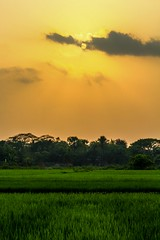 Paddy Field With The Last Light Of Sunset. (ibtihajtafheem) Tags: sunset sunsetlovers sunsetlover sunsetporn sunsets sunrise sunbeam sun sky skyporn cloud clouds cloudporn nature naturelover naturelovers naturephotography naturel natureshots naturebeauty natureshot natureporn travelphotography travel earthcolors earthpix earth paddyfield