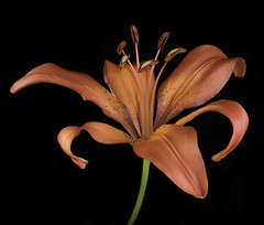 Lilly In The Light (Bill Gracey 15 Million Views) Tags: lilly fleur flower flor color colorful orange red detail macrolens blackbackground tabletopphotography yongnuorf603n softbox softlight green nature naturalbeauty yongnuo