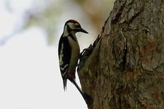 Pic épeiche - Great Spotted Woodpecker (Dendrocopos major) juvénile - Bron - Parc départemental de Parilly (Rhône) France, le 9 juin 2017 (Loïc Le Comte) Tags: sigma150600 picépeiche greatspottedwoodpecker dendrocoposmajor bron parcdépartementaldeparilly