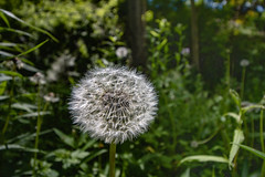 Make a Wish! (A Great Capture) Tags: natur nature naturaleza natura naturephotography naturethroughthelens dandelion weed makeawish seeds agreatcapture agc wwwagreatcapturecom adjm ash2276 ashleylduffus ald mobilejay jamesmitchell toronto on ontario canada canadian photographer northamerica torontoexplore spring springtime printemps 2017 efs1018mm 10mm