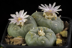 Lophophora williamsii (clement_peiffer) Tags: lophophora williamsii flowerscolors d7100 105mm cactaceae succulent peiffer clement nikon cactus fleurs flower spines epines kaktusi кактуси pink rose peyotes