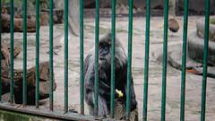 Little Wukong inside the cage (lin.chinhu) Tags: wukong cage incage jail sad sadness boring animal animalplanet animallover saigon zoo thezoo vietnam monkey deep