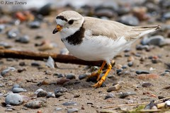 Piping Plover (Charadrius melodus) - Nationally and Provincially Endangered Species - Ontario, Canada (Kim Toews Photography) Tags: canada150 pipl ontarioparks canon400mmf56 ontario beach outdoor sara endangeredspecies shorebird pipingplover charadriusmelodus bird animal nature wildlife