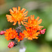 'Fox-and-Cubs'