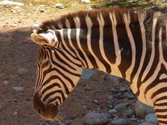 He's Sleeping! (claudianeotti) Tags: zebra sleepy animal animals nature naturelover naturelovers beautiful stunning cute zoo zoom primopiano italy italia african